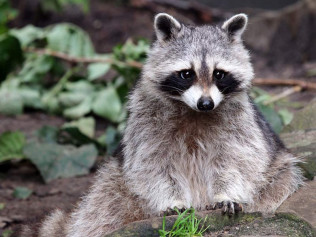 Raccoon Exclusion