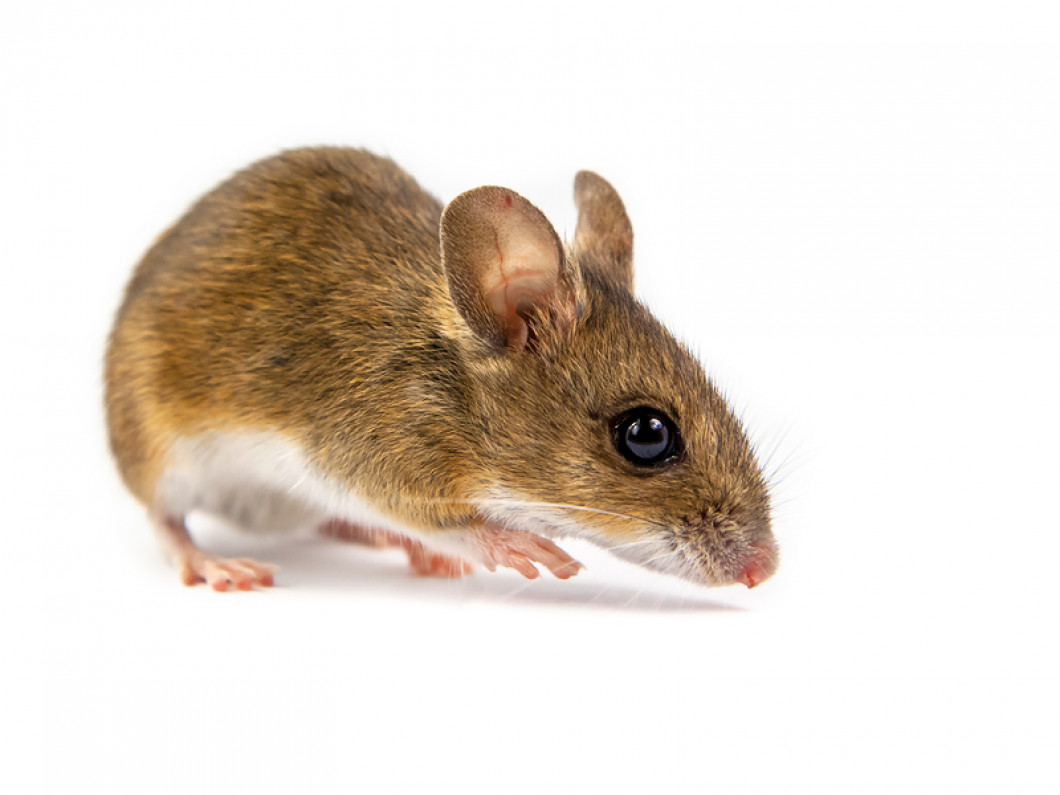 Mice Removal: Wellesely, MA: Mass Bay Wildlife Management Inc